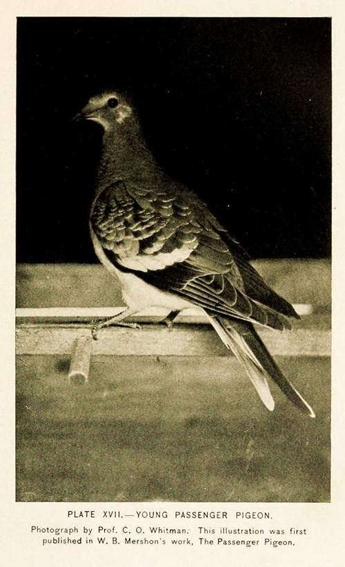 From A history of the game birds, wild fowl and shore birds of Massachusetts and adjacent states (1916). Photograph taken byBiodiversity Heritage Library and reprinted under a Creative Commons license.