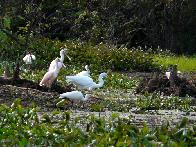 Egrets and roseate spoonbills in the Atchafalaya.