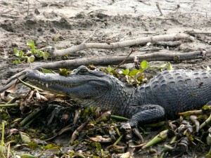 Invasive plant species like the tallow tree can have far-reaching effects on an entire ecosystem, including alligators like this one.